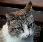 Le chat aux yeux bleus