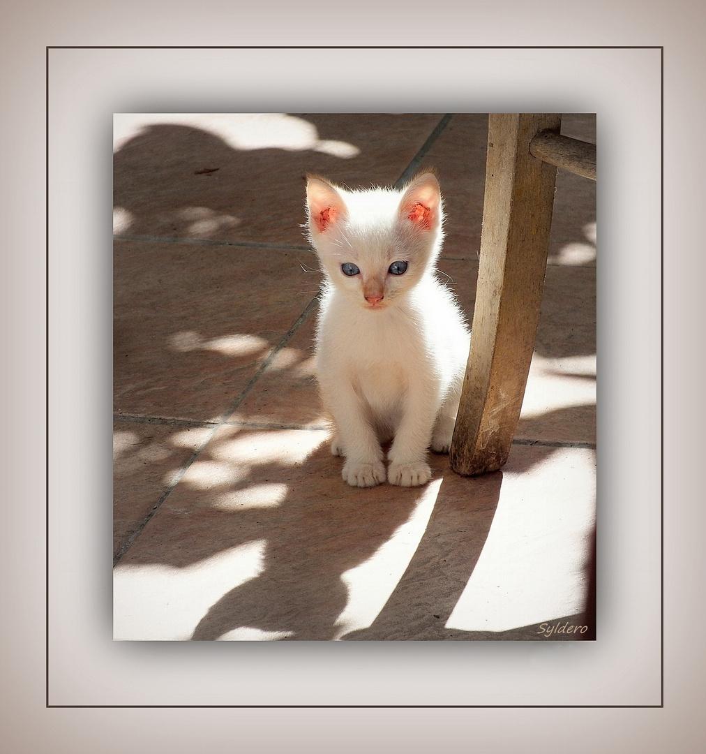 Le chaton blanc