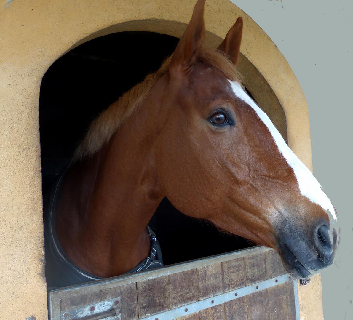 Le cheval à l'oreille coupée...