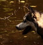 le chien dans l'eau