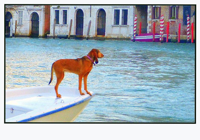 Le chien vénitien