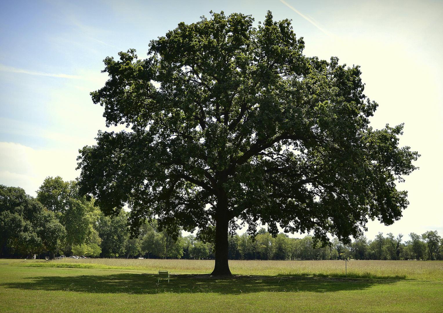 le chêne solitaire