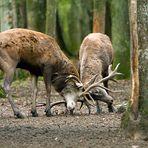 Le combat de cerfs