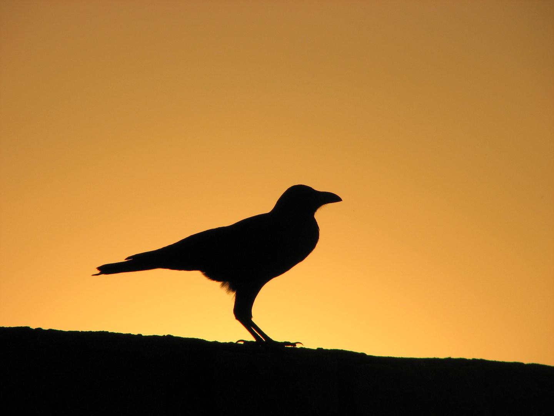 Le corbeau au couché du soleil