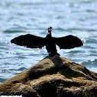 le cormoran prends ses aises ...!