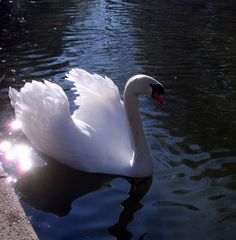 le cygne aux diamants ...