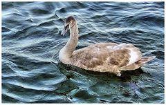 Le cygne du lac