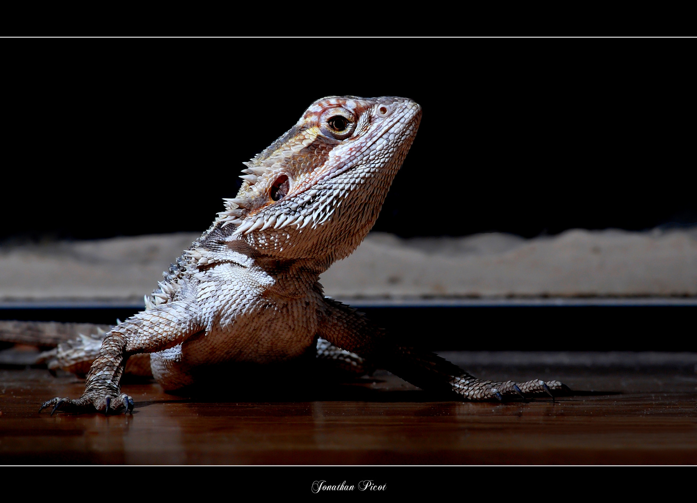 Le dragon barbu