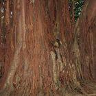 Le Ficus ile de la Reuion