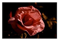 Le grand coucher de la Rose