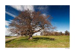 Le gros chêne pédonculé de Rimsdorf