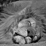 Le lion est mort ce sooooiiiiirrrrrrr ... Ou pas ...
