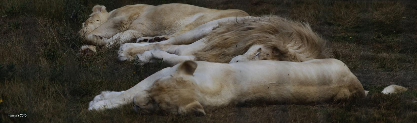 Le lion et ses lionnes