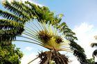 Le magnifique ramage de l''arbre du voyageur