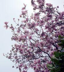 le magnolia .....