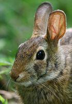 Le mie orecchie sono molto più graziose di quelle delle lepri!