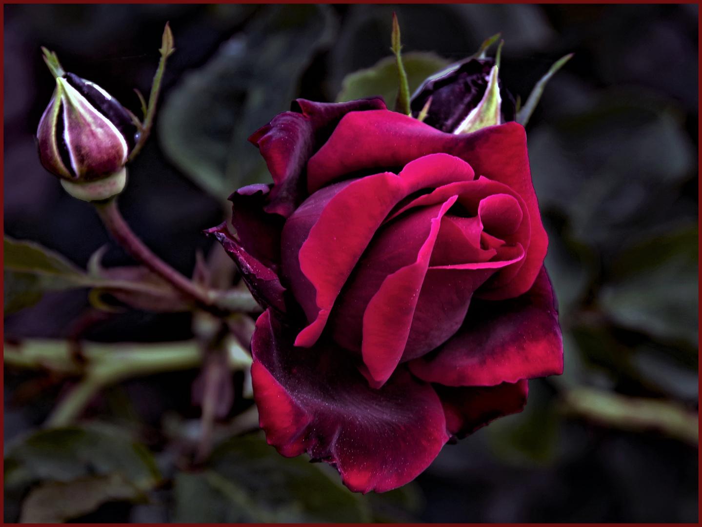 le noir et le rouge.....des roses!