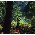 Le ombre del bosco.