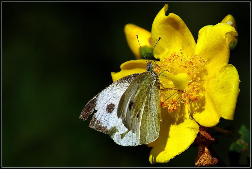 Le papillon amoureux.