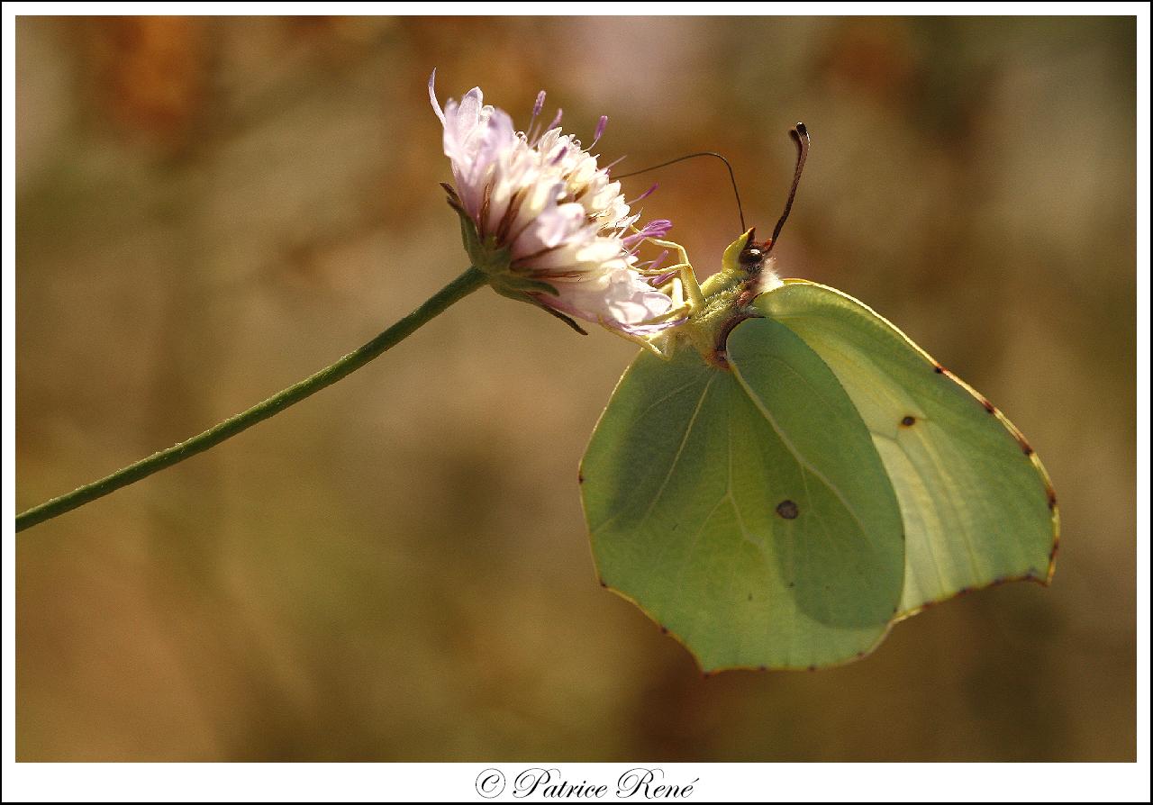 Le papillon citron de provence.