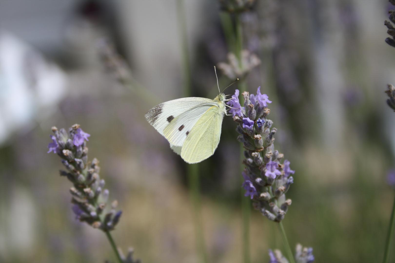 le papillon et la lavande