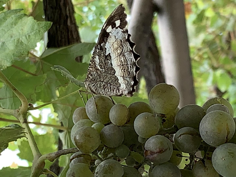 le papillon et le raisin