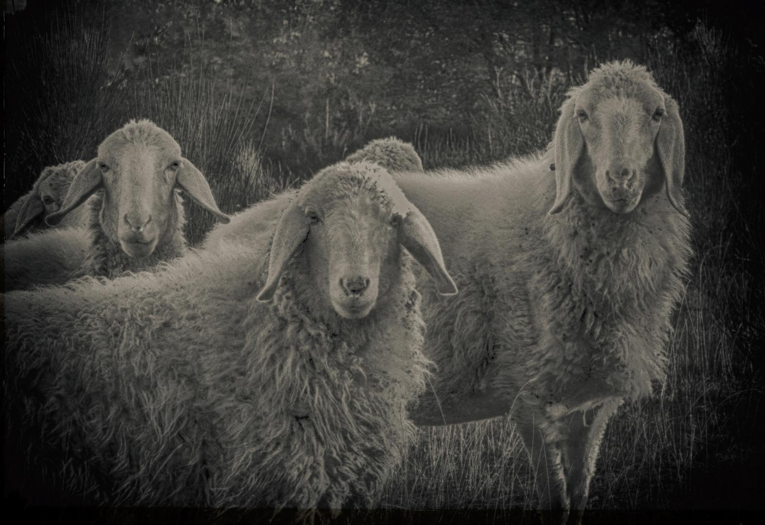 ..le pecore sono ...