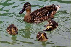 le petit canard qui ne savait pas nager ....