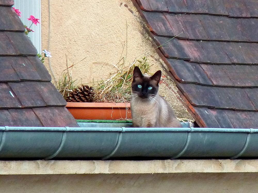 Le petit chat aux yeux bleus .