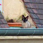 """Le petit chat aux yeux  """" bleus - gouttière """"  ."""