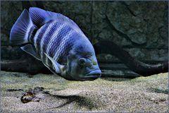 le petit  poisson .....bleu rayé !