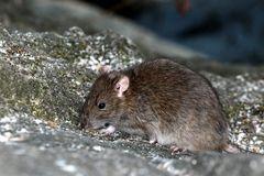 le petit rat qui mange