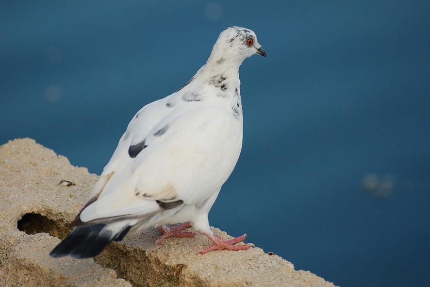 Le pigeon qui regarde l'étang...