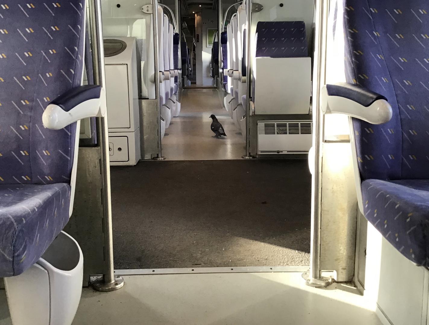 Le pigeon voyageur