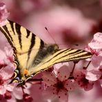 * le premier flambé du printemps * sur un prunus  !!!!!