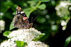 Le premier papillon du printemps