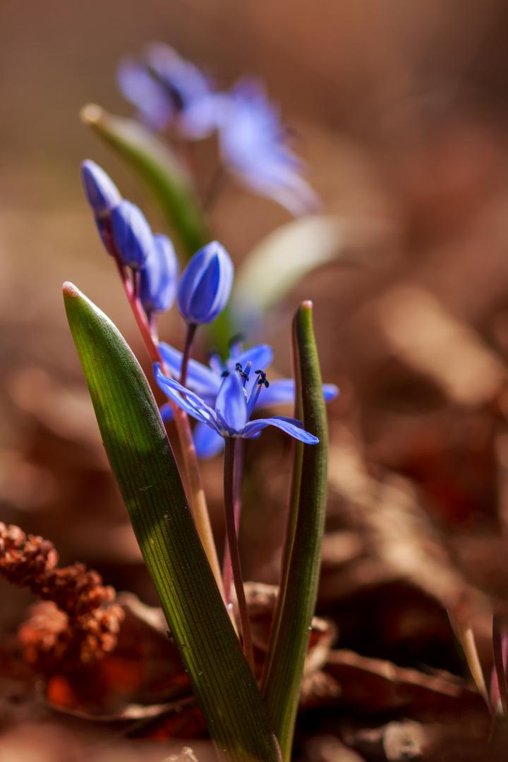 Le printemps a les yeux bleus...