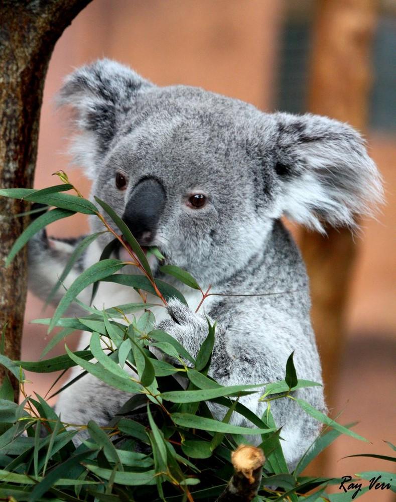 le P'tit Koala