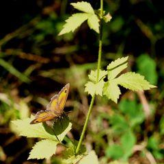 le p'tit papillon