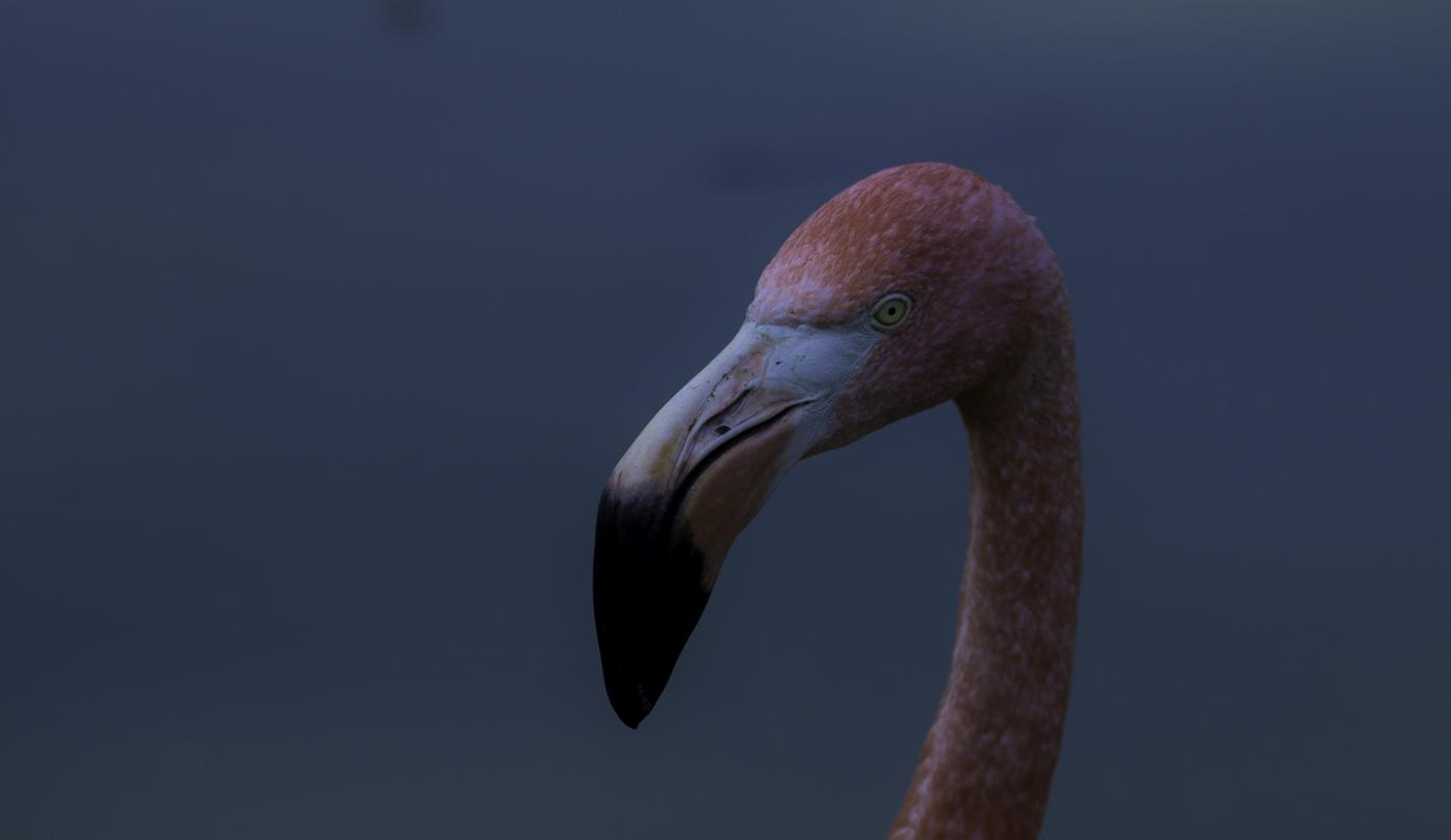Le regard du flamant rose