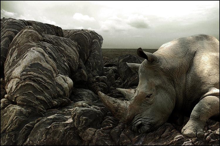 Le rhinocéros échoué