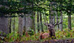Le roi de la forêt.