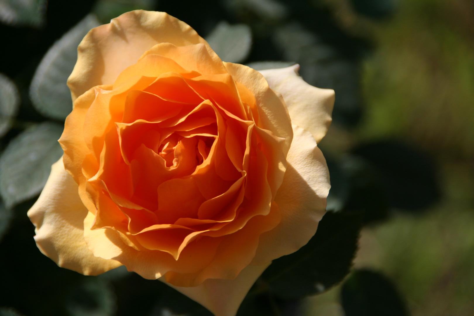 le rose di Margherita