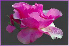 le rose fioriranno di nuovo .....