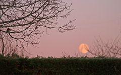 Le rouge-gorge au coucher de lune