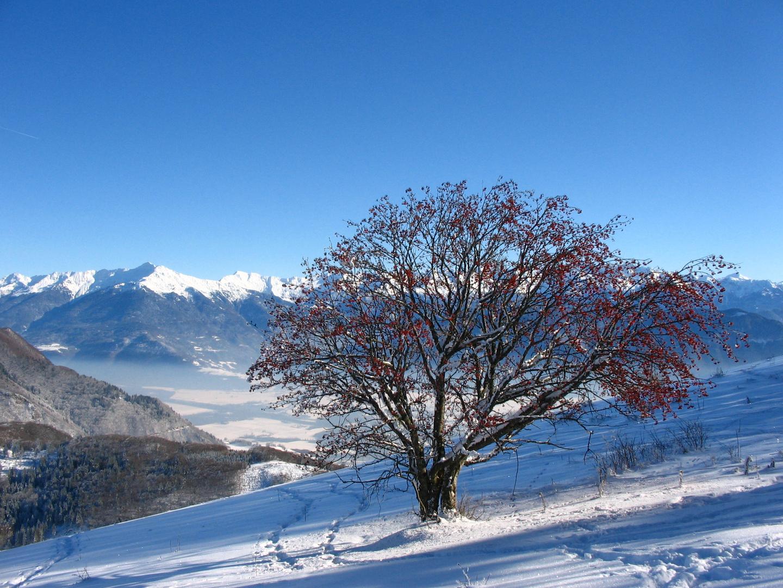 Le sorbier des neiges