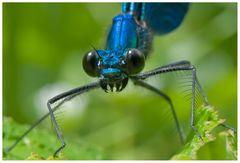 Le sourire de la Demoiselle (Calopterix Virgo mâle)