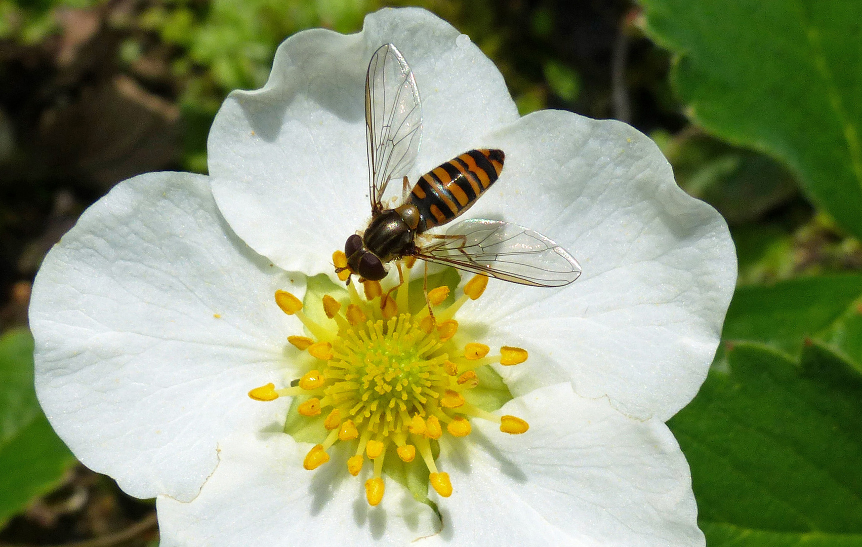 Le Syrphe Et La Fleur De Fraisier Photo Et Image Macro Nature
