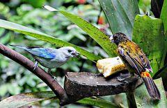 Le tangara bleu partage sa banane