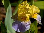 Le temps des Iris 2  -- Iris Germanica Millestone